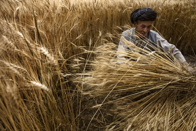 FAO reports world cereal production set to reach historic high in 2013