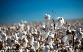 ICAC sees world cotton stocks to fall by 8.0% in 2015/16