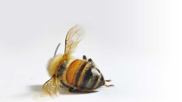 Bees eat less food due to pesticides consumption