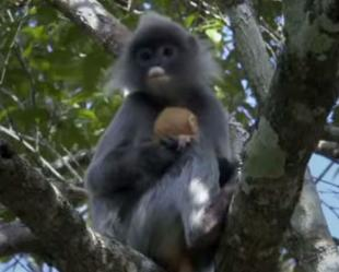 Indo-Bangla join hands to protect spectacled langur