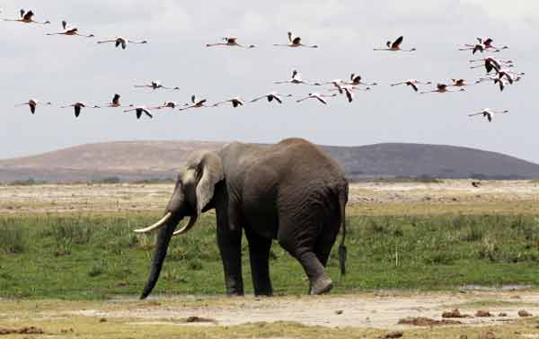 60pc of large herbivores on verge of extinction: Survey
