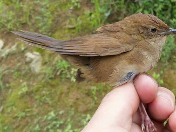 A distinctive song helped researchers find a new, elusive bird species