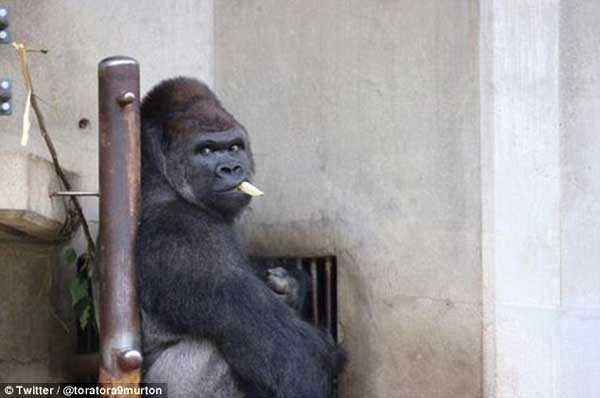 Handsome male Gorilla excites women