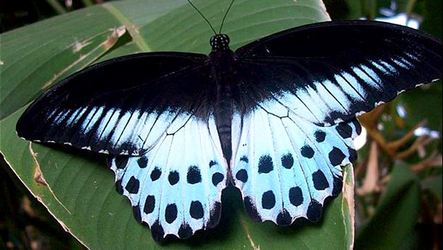 India declares Blue Mormon as state butterfly