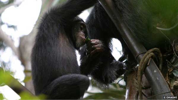 Chimps use leaves to drink alcohol