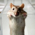 Rats are full of wanderlust and dream about places they want to go