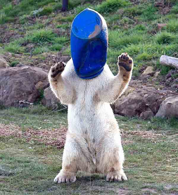 Pixel the polar bear uses drum as a sun hat