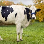 Guinness names Blosom the World's tallest cow
