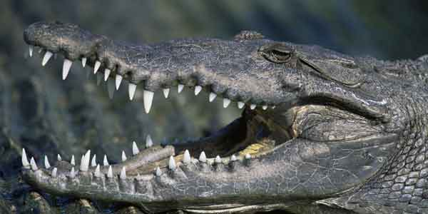 Crocodiles 'to guard Indonesia prisons'
