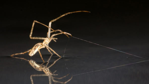 Spiders can sail across water like ships