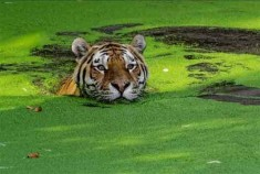 Bangladesh finds only 100 Bengal tigers in Sunderbans