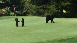 Bear family frolicked on Golf course