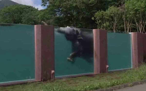 Japan builds elephant swimming pool