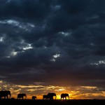 Elephant herd sunset