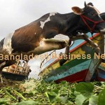 Cattle during Eid in Bangladesh