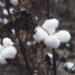 Bangladesh currently imports around four million bales of cotton annually from the USA, India, Pakistan, Australia, Uzbekistan and other CIS countries. Photo: Wikimedia