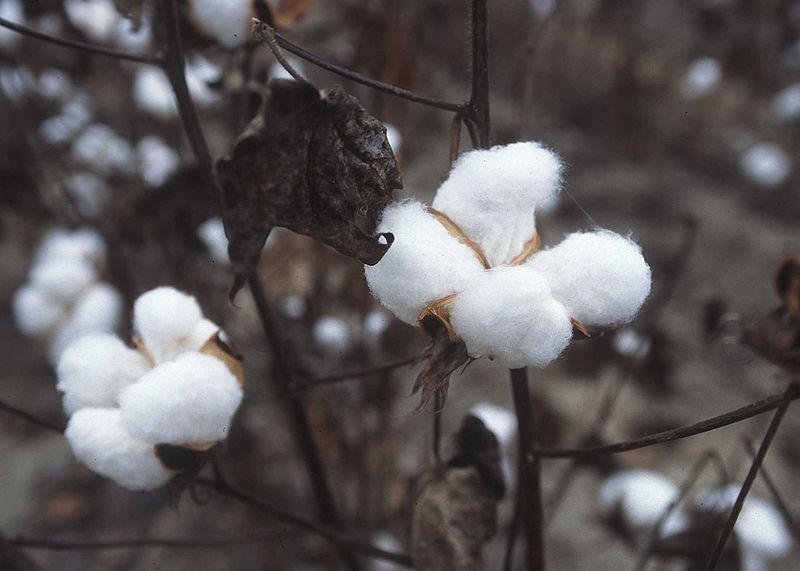 Uncertain demand for cotton cloud outlook for 2019/20