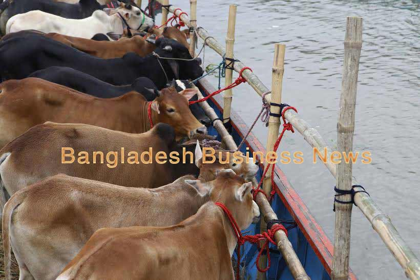 Cattle smuggling to Bangladesh on the wane