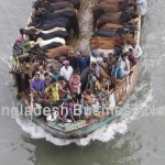 Cattle in boat in Bangladesh during the Eid