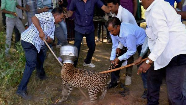 Thirsty India leopard gets head stuck in pot