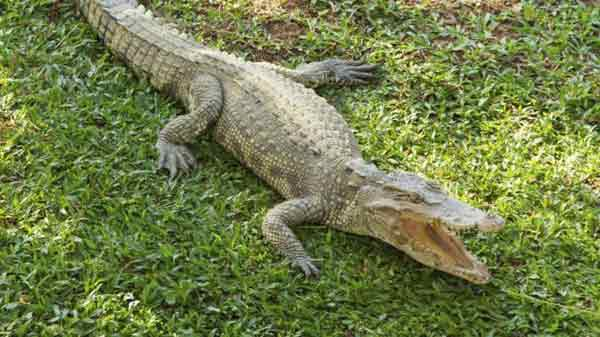 Crocodiles sleep with one eye watching