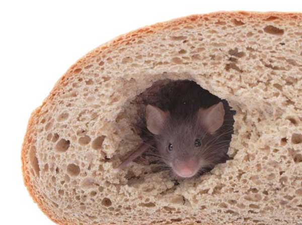 Live rat found in packet of bread at AIIMS