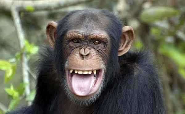 Young female chimps smarter than males