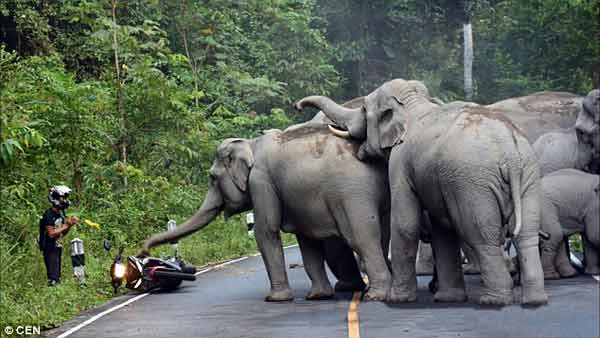 Moped rider begs mercy from angry elephants in a national park in Thailand