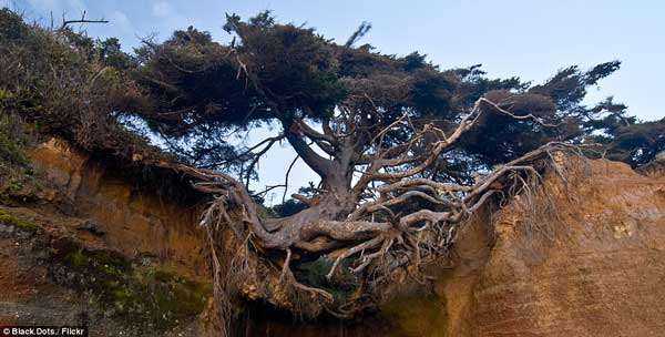 The tree that just won't die- hanging over a cliff by its roots