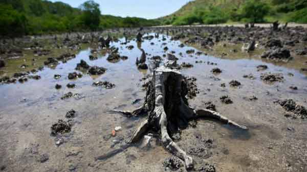 Rice and palm oil risk to mangroves