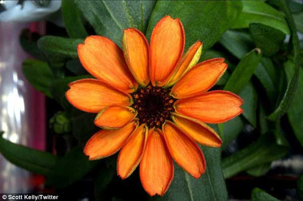 Astronaut tweets images of first flower grown in space