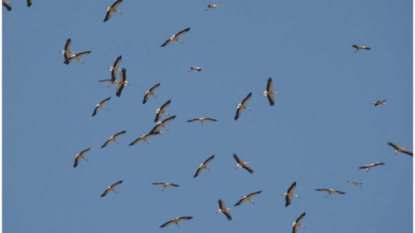 Storks shun migration for junk food