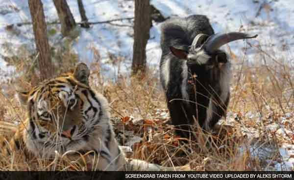 Unlikely friendship between tiger and goat ends in fight