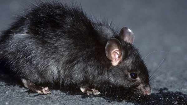 Logging 'speeds black rats invasion'