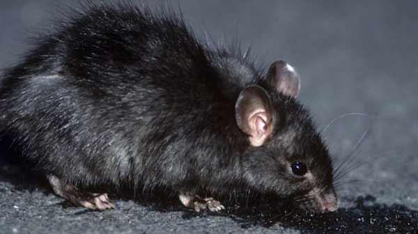 Logging 'speeds black rats invasion'