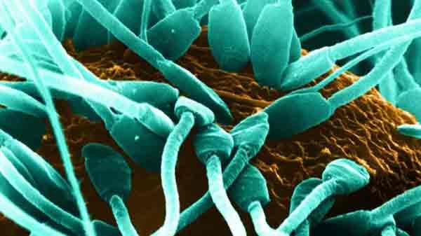 Lab-grown sperm makes healthy offspring