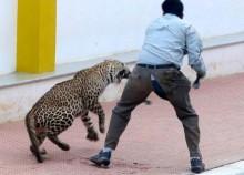 Leopard hurts six in India school