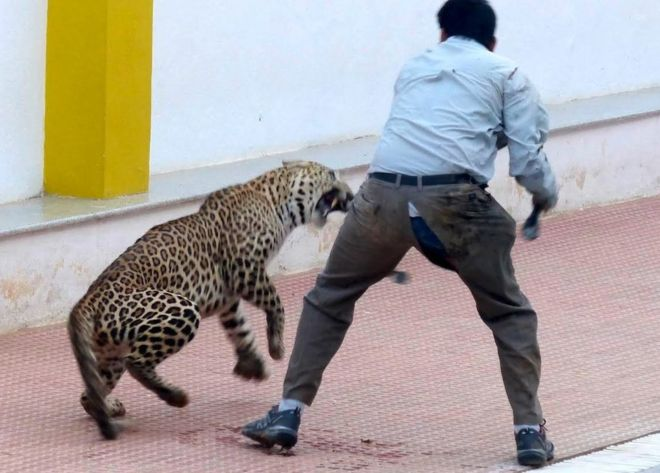 India school mauling leopard escapes