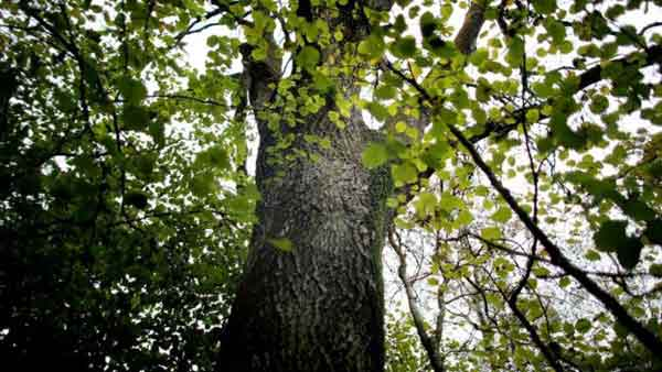 Ash tree set for extinction in Europe