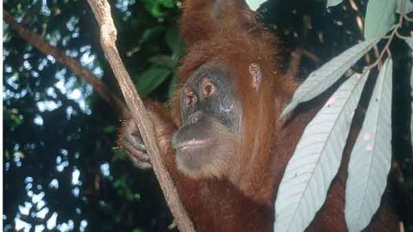 Orangutan population up but threats remain