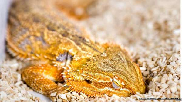 Lizards share sleep patterns with humans