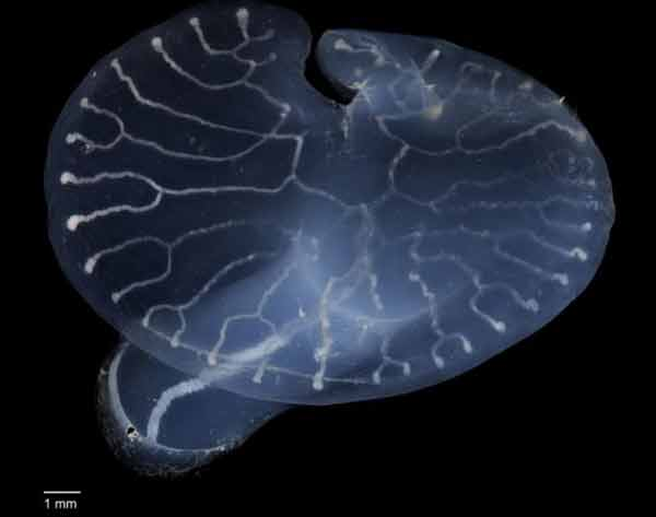 Origin of mystery deep-sea mushroom revealed