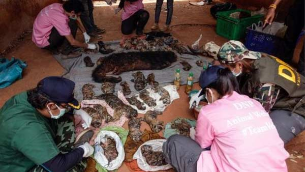 40 dead tiger cubs uncovered at Thai temple