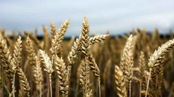 Russia runs out of time as southern rivals join wheat market