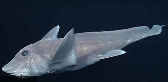Mysterious ghost shark captured for the first time