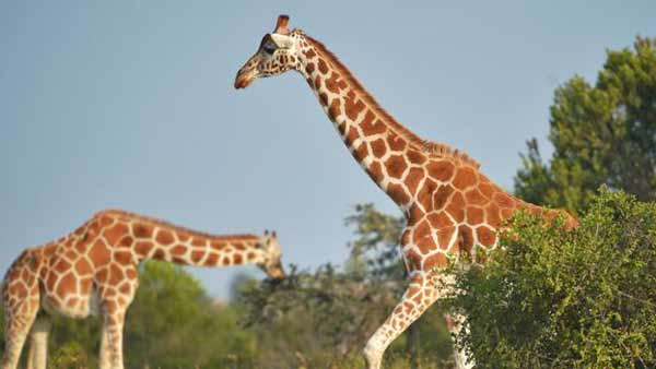 Giraffes 'vulnerable' as numbers plunge