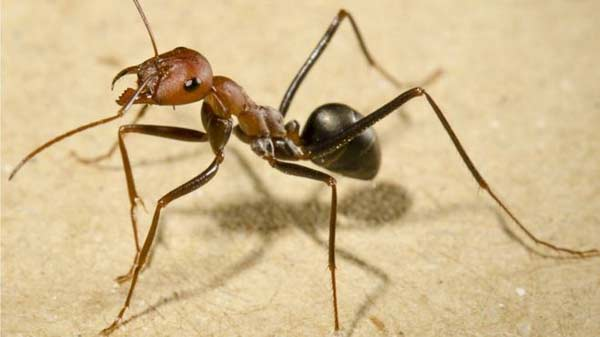 Ants use Sun and memories to navigate