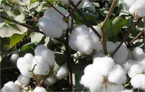Global cotton production to rise in 2017/18