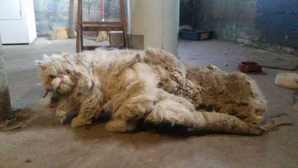This cat was weighed down by five pounds of matted fur!