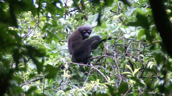 'Star Wars gibbon' is new species